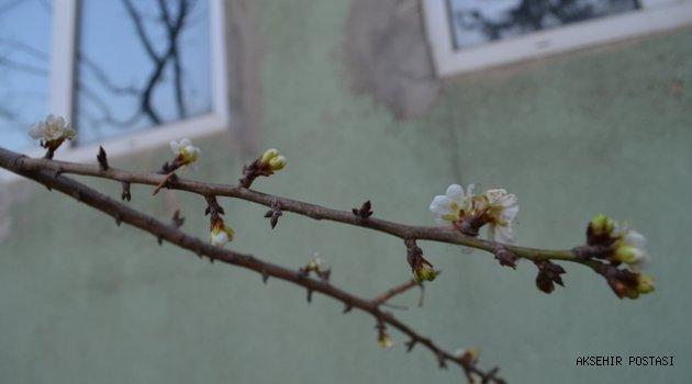 Erik ağacı Kasım ayında çiçek açtı