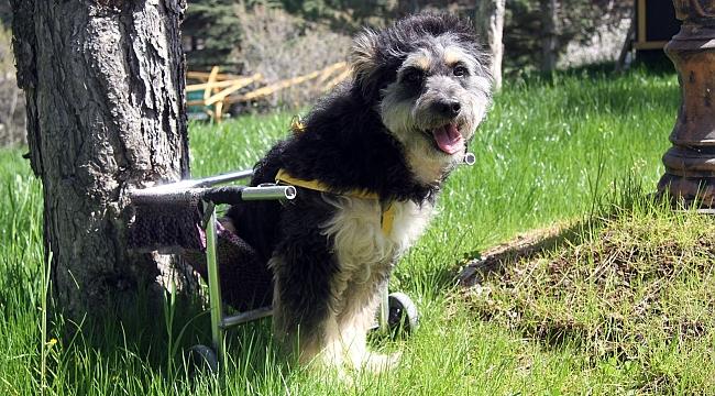 Engelli sokak köpeği 'Minik' sevgiyle hayata tutundu