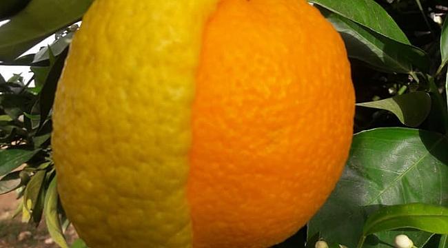 Yarısı portakal, yarısı limon meyve şaşırttı